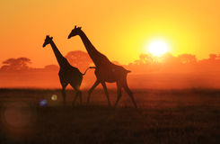 Giraffe - Wildlife Background - Sunset Gold Stock Image