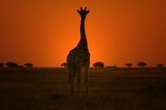 Giraffe - Wildlife Background - Sunset Pose of Gold Royalty Free Stock Image