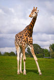 Giraffe in wildlife park Stock Image
