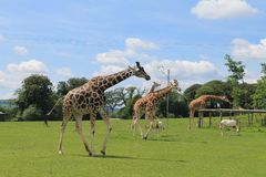 Giraffe. In wildpark zoo Royalty Free Stock Images