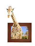 Giraffe in wooden frame with 3d effect Royalty Free Stock Photos