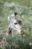 The Giraffe wounded while wating the acacia tree Stock Photos