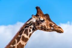 Giraffe's head profile Royalty Free Stock Image
