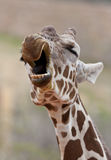 Giraffe Yawning Royalty Free Stock Photography