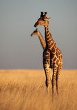 Giraffe in yellow savanna Royalty Free Stock Photo