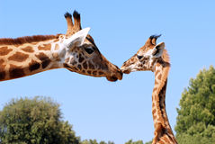 Giraffe and young. Are made a kiss Stock Image