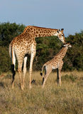 Giraffe and young. Mother giraffe walking with her young calf Stock Image