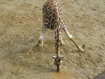 Giraffe. Young Giraffe drinking water in zoo Liberec. Czech Republic Stock Image