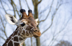 Giraffe. Young giraffe is looking, courious and wondering stock images