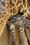 Giraffe. Young Masai Giraffe Nursing From Mother Royalty Free Stock Photos