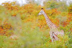 Giraffe and young in the orange aurumn forest. Green vegetation with big animals. Wildlife scene from nature. Evening light in the Stock Photo
