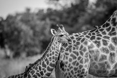 Giraffe young standing with his mother. Royalty Free Stock Images