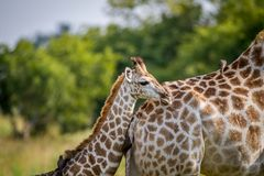 Giraffe young standing with his mother. Royalty Free Stock Photo