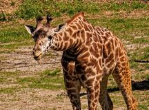 Giraffe. A young giraffe stretching his neck forward Stock Image