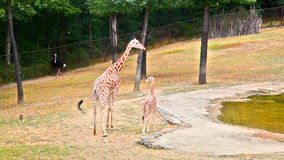 Giraffe with young on zoo gound Royalty Free Stock Photo