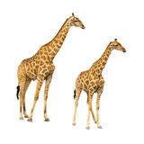 Giraffe with younger isolated on white background. Giraffe isolated on white background, seen in namibia, africa royalty free stock images