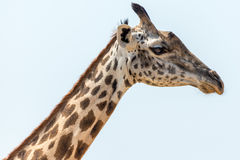A flie. Giraffe in zambia in the southern luangwa national park Royalty Free Stock Photography