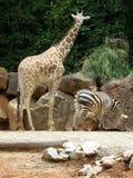 Giraffe and Zebra. In the Wild stock photography