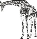 Giraffe in the Zebra camouflage Stock Photo