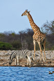 Giraffe and zebra. A zebra is drinking while a giraffe looking around in a waterhole in Etosha National Park in Namibia Royalty Free Stock Images