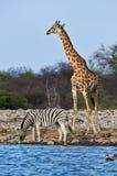 Giraffe and zebra Royalty Free Stock Images