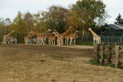 Giraffe and zebra in park stock photos