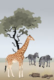 Giraffe and Zebras Stock Photo