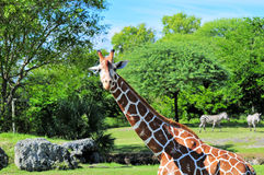 Giraffe & Zebras. Reticulated Giraffe and two Grant's Zebras photographed in a South Florida zoo stock photography