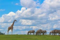 A GIRAFFE AND ZEBRAS EATING GRASS stock photos