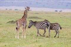 Giraffe and Zebras Stock Photos