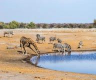 Giraffe and zebras at waterhole in Etosha national park. Namibia Royalty Free Stock Image