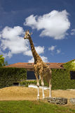Giraffe at a zoo Stock Image
