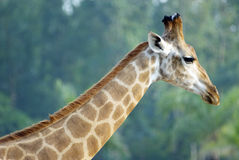 The giraffe in zoo Royalty Free Stock Photography