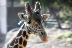 Giraffe in zoo Royalty Free Stock Photography