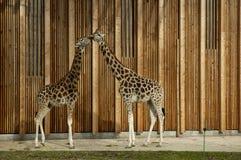 Giraffe in zoo. Giraffe in Parc de la Tete-d`Or (zoo). Lyon, France Stock Photography