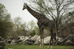 Giraffe in zoo. Side portrait of giraffe stood in zoo with boulders and trees in background stock photo