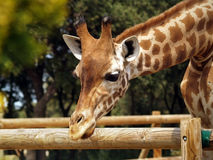 Giraffe in zoo. Looking at something Stock Images