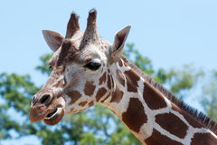 Giraffe at the zoo Royalty Free Stock Images