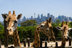 Giraffe zoo 3. Three 3 giraffe heads with long necks in Australia Sydney wildlife park zoo Taronga with city background Royalty Free Stock Photo
