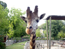 Giraffe am Zoo Stockbilder