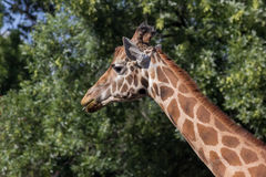 Giraffe am Zoo Stockfotografie