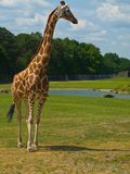 Giraffe at the Zoo. A tall giraffe standing outside at a zoo or wildlife preserve Stock Photography