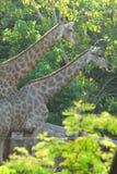 Giraffe in the zoo Royalty Free Stock Photo