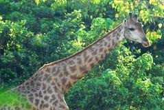 Giraffe in the zoo Stock Photo