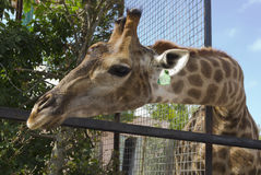 Giraffe in the zoo.Behind the fence. Stock Photo