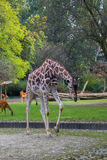 Giraffe. In the zoo of Berlin Royalty Free Stock Photo