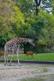 Giraffe. In the zoo of Berlin Stock Images