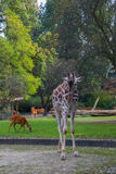 Giraffe. In the zoo of Berlin Stock Photo