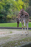 Giraffe. In the zoo of Berlin Royalty Free Stock Photos