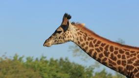 Giraffe in the zoo stock video